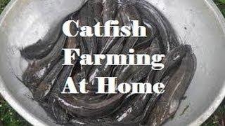 getlinkyoutube.com-Starting a small catfish (Clarias batrachus) farm at home