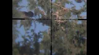 getlinkyoutube.com-Pigeon Hunting 3