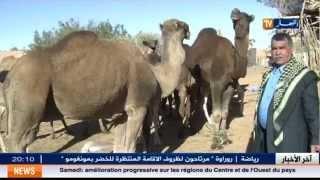 getlinkyoutube.com-الاوبئة و الامراض تهدد بالقضاء على الابل بجنوب الجزائر . نورالدين رحماني