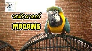 getlinkyoutube.com-นกมาคอว์ (Macaws)
