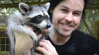 getlinkyoutube.com-Rescuing Baby Raccoons - How to feed and raise coon babies
