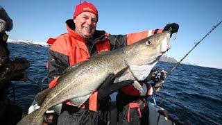 getlinkyoutube.com-Marcowe dorsze złowione w Norwegii  - Lofoten Fishing Center
