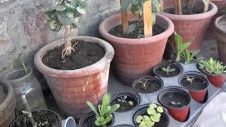 getlinkyoutube.com-How To Air Layering The Plant (Urdu/Hindi)