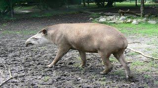 getlinkyoutube.com-Tapir Paarung - Parung Bei Tieren   Paarung der Tiere