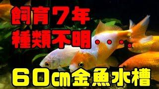 getlinkyoutube.com-飼育7年以上!!金魚混泳60cm水槽!!【アクアリウム】