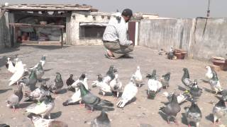 getlinkyoutube.com-SARWAN SINGH KLER WITH HIS PIGEONS OG MIX BREED..FEROZPURI JALDAR LAL JALDAR MADRASI ETC.