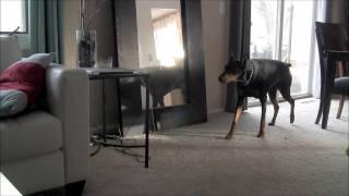 getlinkyoutube.com-Ninja Doberman Attacks Pit Bull