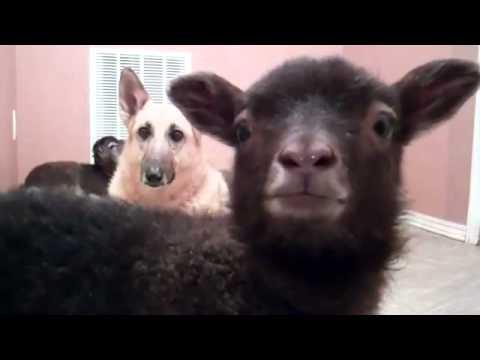 Lama, która mówi