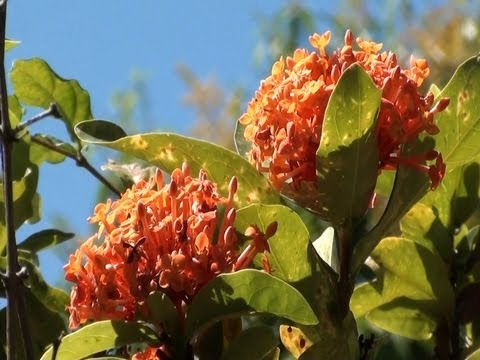 Ixoras, Flores,  Plantas de jardins, Plantas ornamentais, jardinagens,
