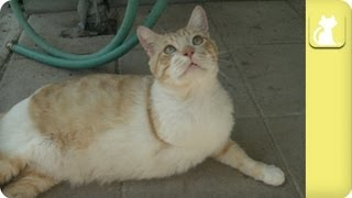 getlinkyoutube.com-Sweet, 3-legged cat searching for a home - Unadoptables