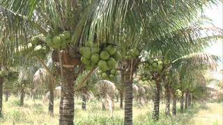 getlinkyoutube.com-Hybrid Coconut Tree