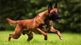 getlinkyoutube.com-Belgian Shepherd Dog Malinois  Dog Breed
