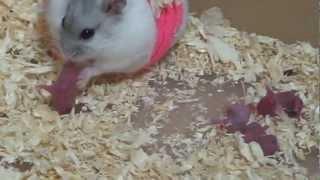 แอบดูหนูแฮมคลอด # 3 / hamsters giving birth