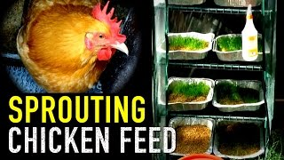 getlinkyoutube.com-Organic Chicken Feed: Sprouted Grains for Animal Fodder