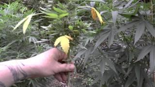 getlinkyoutube.com-Harvesting the organic autoflower's, green peppers and potatos