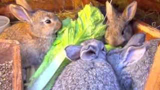getlinkyoutube.com-Cute Baby Bunnies and Mom Bunny Rabbit Eating Lettuce
