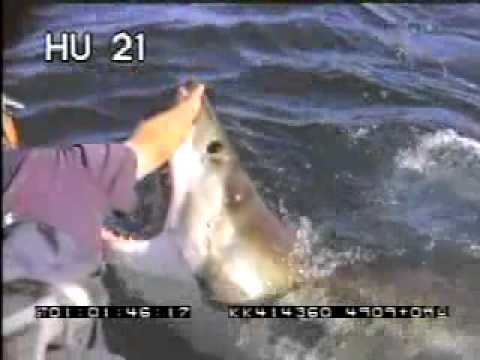Largest Shark Ever Seen http://www.fullmusicasvip.com/ver/Nj-DrmQG-OQ/GREAT-WHITE-SHARK-LARGEST-I-HAVE-EVER-SEEN.html