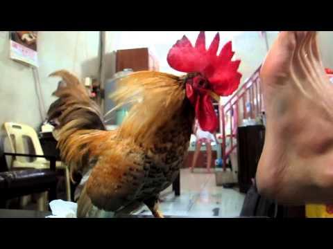Ayam Serama VS Foot .MOV