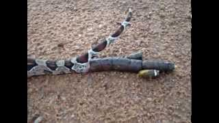 getlinkyoutube.com-Cobra cagando Snake