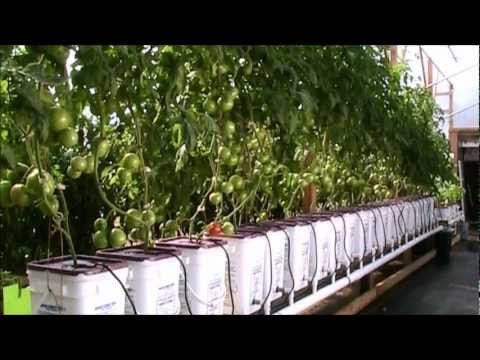 Update Dutch Bucket Hydroponic Tomatoes Oct 2012 HD