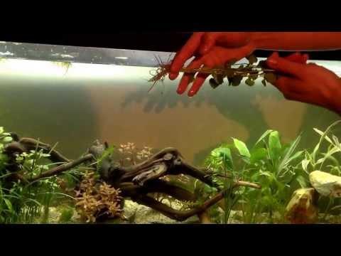 Liberación de mi ajolote y plantación de plantas naturalez acuáticas