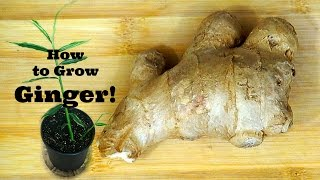 getlinkyoutube.com-How to Grow Ginger!