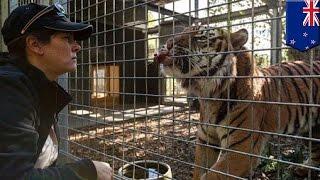 getlinkyoutube.com-飼育員がトラにかまれ死亡、ニュージーランドの動物園