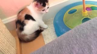 getlinkyoutube.com-Cute Calico Kittens