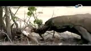 getlinkyoutube.com-Território Selvagem: Dragão de Comodo, Sucuri. Discovery - 1 / 5