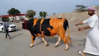 getlinkyoutube.com-Bull Butting in Fujairah مناطحة الثيران في الفجيرة