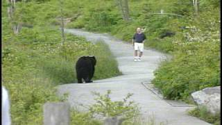 getlinkyoutube.com-WLOS Bear chases man at Clingman's Dome in GSMNP