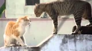 getlinkyoutube.com-اسمع صوت القطط وهي بتتعارك   YouTube