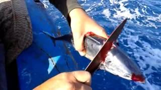 getlinkyoutube.com-طريقة ذبح وتنظيف سمك التونة ( الكبريت )