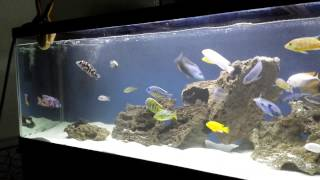 getlinkyoutube.com-130 gallon 6ft African Cichlid Aquarium