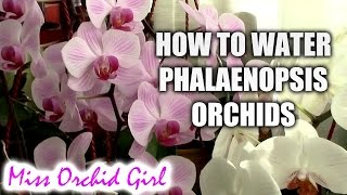 getlinkyoutube.com-How to water Phalaenopsis orchids - tips for a healthy orchid