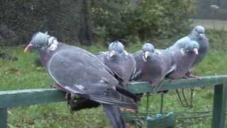 getlinkyoutube.com-La chasse à la palombes avec Max et Alain