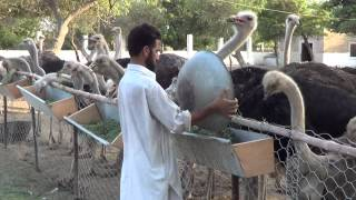 getlinkyoutube.com-ostrich farm malir
