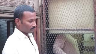 getlinkyoutube.com-Pakistani pigeons Jeddah Makka Khadriala Sarai Alamgir uae uk usa