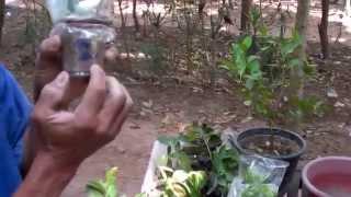 getlinkyoutube.com-การขยายพันธุ์พืช โดยวิธีควบแน่น โดย ลุงเฉลิม พลีดี อ.บึงสามัคคี จ.กำแพงเพชร