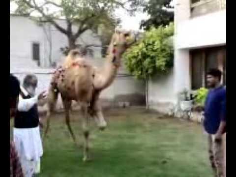 waqas shad' camel  NAHR 2008