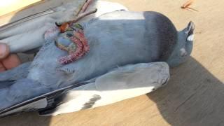 getlinkyoutube.com-طيور الزاجل في العراق طير في سباق الحي يوصل بغداد ويموت اثر الصيد