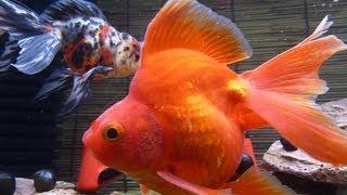 getlinkyoutube.com-上部フィルター『グランデカスタム600』と金魚の紹介