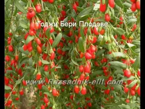 Годжи Бери Goji Berry посадъчен материал разсад фиданки отглеждане резитба засаждане размножаване