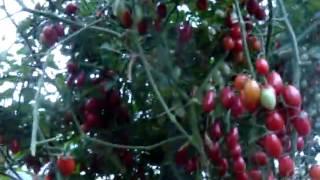 getlinkyoutube.com-Помидоры сорта Спрут, уход и выращивание