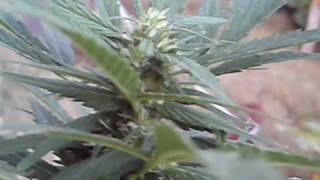 getlinkyoutube.com-reggie weed plant flowering outdoors