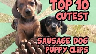 getlinkyoutube.com-TOP 10 DACHSHUND PUPPY VIDEOS OF ALL TIME