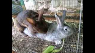 getlinkyoutube.com-how to breed your rabbit doe  sometimes its easy  sometimes not