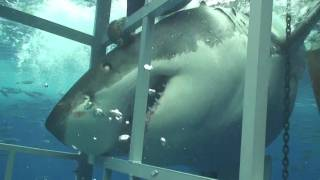 getlinkyoutube.com-Great White Shark chomping on my cage off Guadalupe Mexico