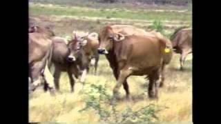 getlinkyoutube.com-caracteristicas productivas y zootecnicas de principales razas de bovinos parte 1