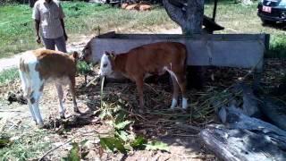 getlinkyoutube.com-Hasil Inseminasi Buatan IB Sapi Bali dengan Sapi Limousin dan Simental di Mansapa Nunukan